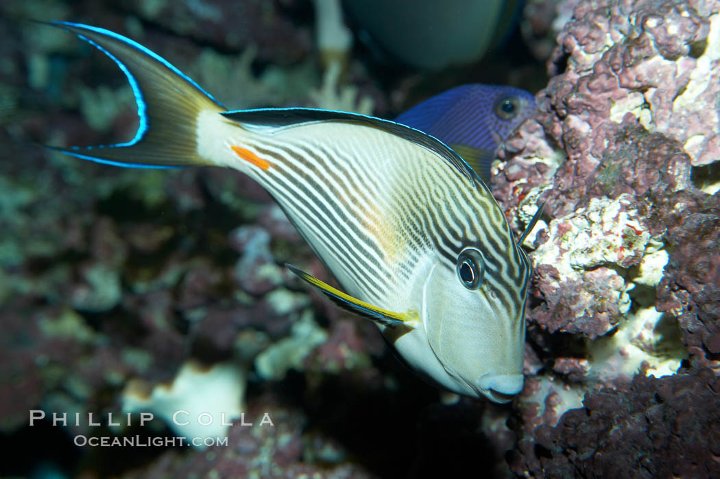 Arabian surgeonfish., Acanthurus sohal, natural history stock photograph, photo id 11765