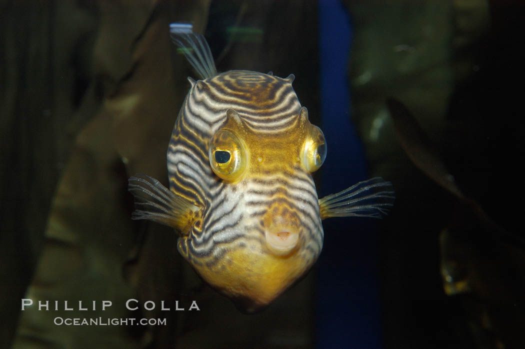 Ornate cowfish, male coloration., Aracana ornata, natural history stock photograph, photo id 09251