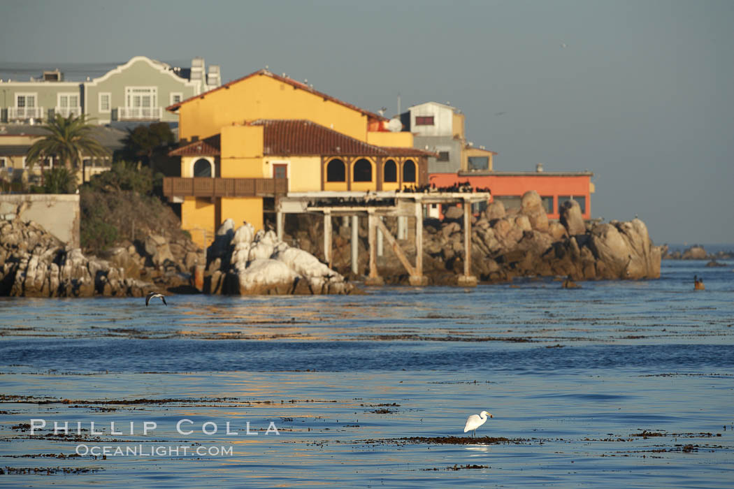 Great egret catches a fish while standing on floating kelp in front of Cannery Row buildings, along the Monterey waterfront, early morning, Ardea alba