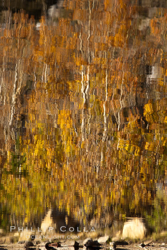 Aspen trees, fall colors, reflected in the still waters of North Lake. Bishop Creek Canyon Sierra Nevada Mountains, Bishop, California, USA, Populus tremuloides, natural history stock photograph, photo id 26063