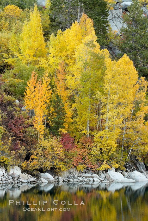 Aspen trees display Eastern Sierra fall colors, Lake Sabrina, Bishop Creek Canyon. Bishop Creek Canyon, Sierra Nevada Mountains, Bishop, California, USA, Populus tremuloides, natural history stock photograph, photo id 17497
