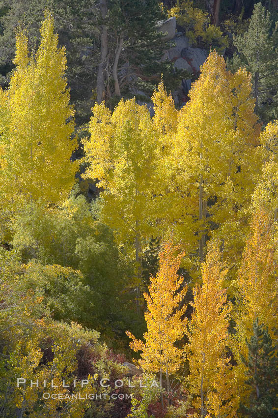 Aspen trees display Eastern Sierra fall colors, Lake Sabrina, Bishop Creek Canyon. Bishop Creek Canyon, Sierra Nevada Mountains, Bishop, California, USA, Populus tremuloides, natural history stock photograph, photo id 17513