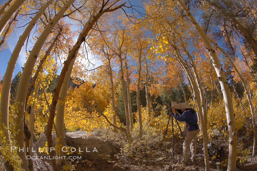 A photographer is surrounded by changing aspen trees, turning fall colors, near North Lake in the Eastern Sierra, Bishop Creek Canyon, Populus tremuloides, Bishop Creek Canyon, Sierra Nevada Mountains