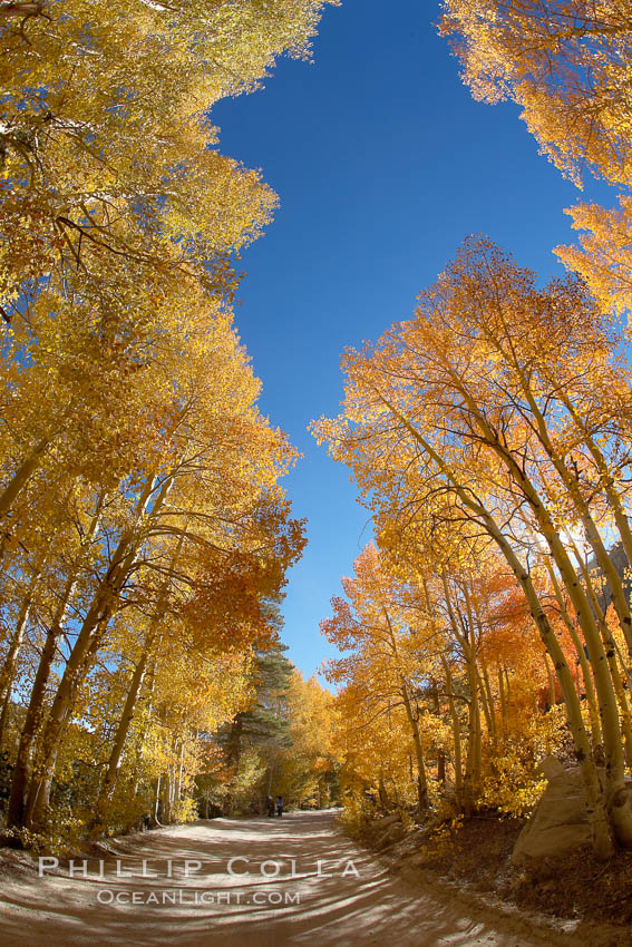 Aspen trees displaying fall colors rise above a High Sierra road near North Lake, Bishop Creek Canyon., Populus tremuloides,  Copyright Phillip Colla, image #17501, all rights reserved worldwide.