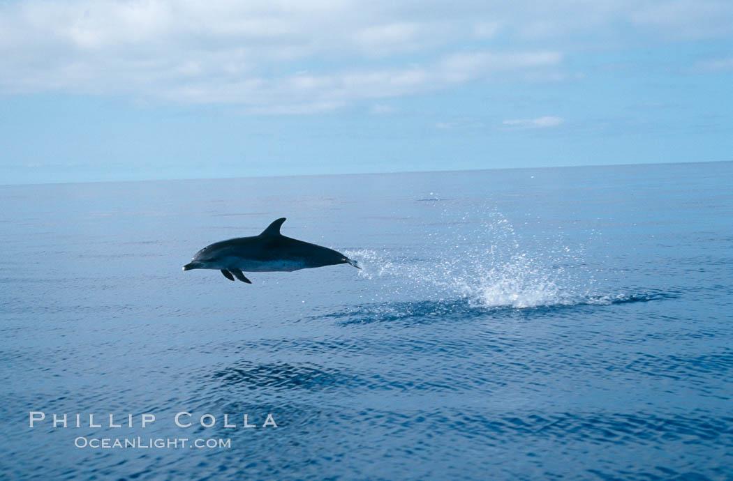 Atlantic spotted dolphin. Sao Miguel Island, Azores, Portugal, Stenella frontalis, natural history stock photograph, photo id 02087