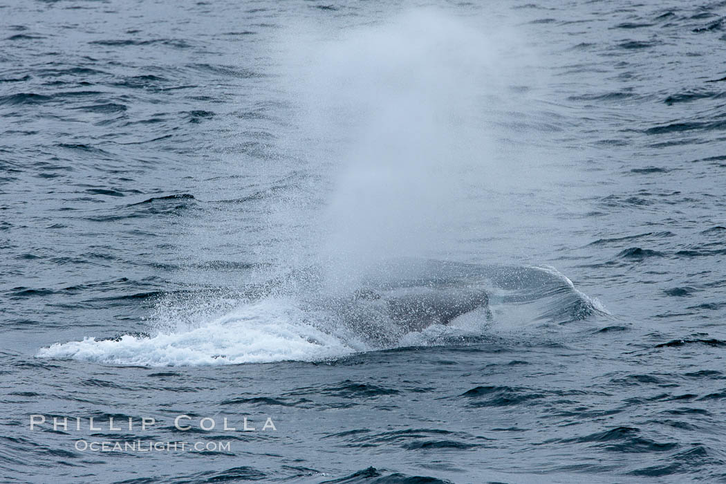 Fin whale. Scotia Sea, Southern Ocean, Balaenoptera physalus, natural history stock photograph, photo id 24729
