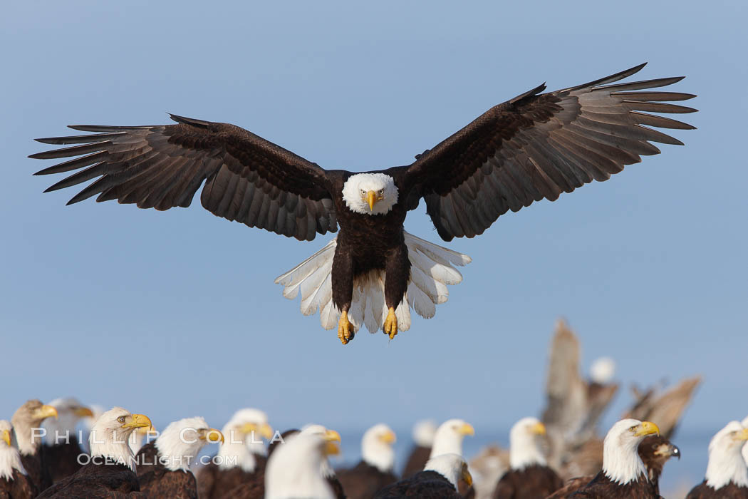Bald eagle spreads its wings to land amid a large group of bald eagles, Haliaeetus leucocephalus, Haliaeetus leucocephalus washingtoniensis, Kachemak Bay, Homer, Alaska