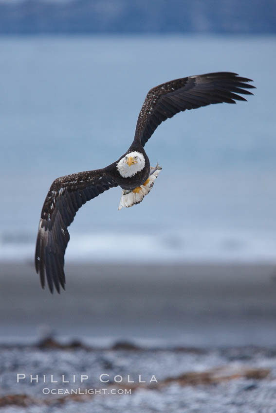 Bald eagle in flight over snow-dusted beach, Kachemak Bay. Kachemak Bay, Homer, Alaska, USA, Haliaeetus leucocephalus, Haliaeetus leucocephalus washingtoniensis, natural history stock photograph, photo id 22628
