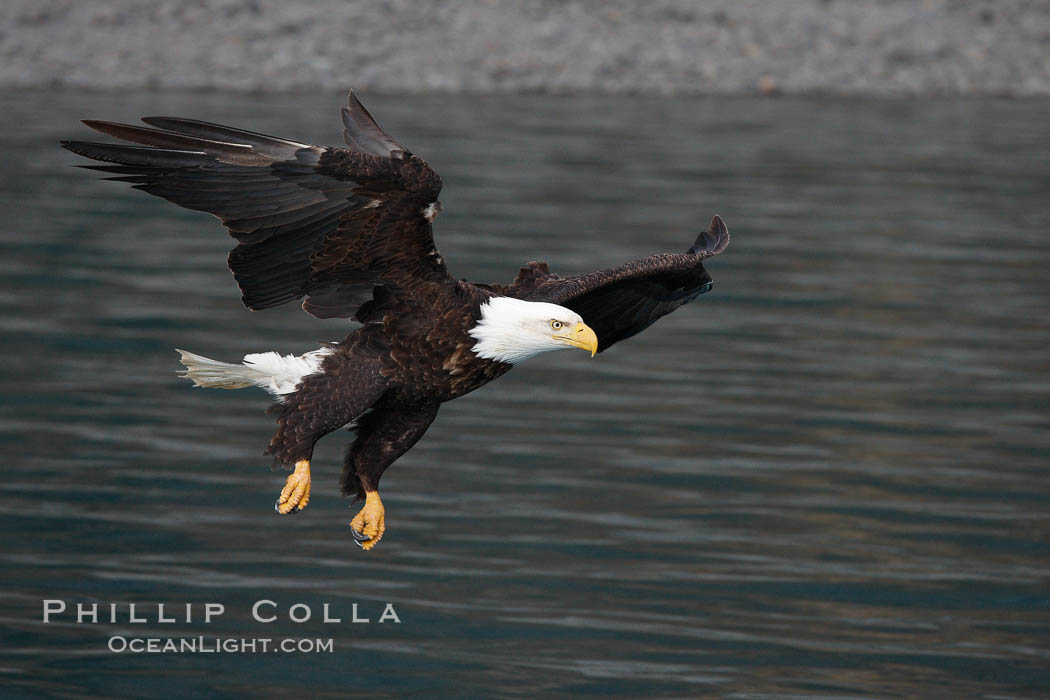 Bald eagle, flying low over the water. Kenai Peninsula, Alaska, USA, Haliaeetus leucocephalus, Haliaeetus leucocephalus washingtoniensis, natural history stock photograph, photo id 22799