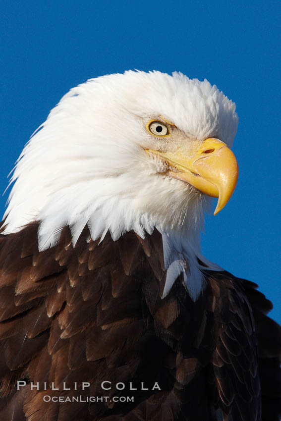 Bald eagle, closeup of head and shoulders showing distinctive white head feathers, yellow beak and brown body and wings., Haliaeetus leucocephalus, Haliaeetus leucocephalus washingtoniensis,  Copyright Phillip Colla, image #22582, all rights reserved worldwide.