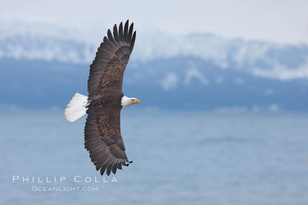 Bald eagle in flight, Kachemak Bay and the Kenai Mountains in the background, Haliaeetus leucocephalus, Haliaeetus leucocephalus washingtoniensis, Homer, Alaska