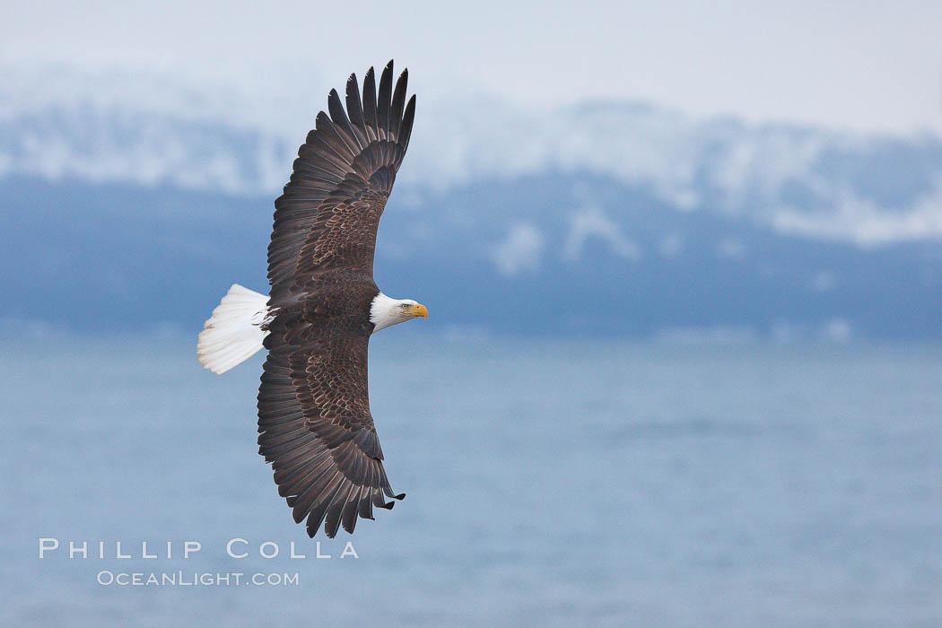 Bald eagle in flight, Kachemak Bay and the Kenai Mountains in the background, Haliaeetus leucocephalus, Haliaeetus leucocephalus washingtoniensis, Homer, Alaska