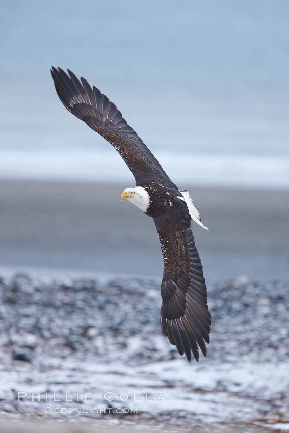 Bald eagle in flight, snow covered beach and Kachemak Bay in background. Kachemak Bay, Homer, Alaska, USA, Haliaeetus leucocephalus, Haliaeetus leucocephalus washingtoniensis, natural history stock photograph, photo id 22592