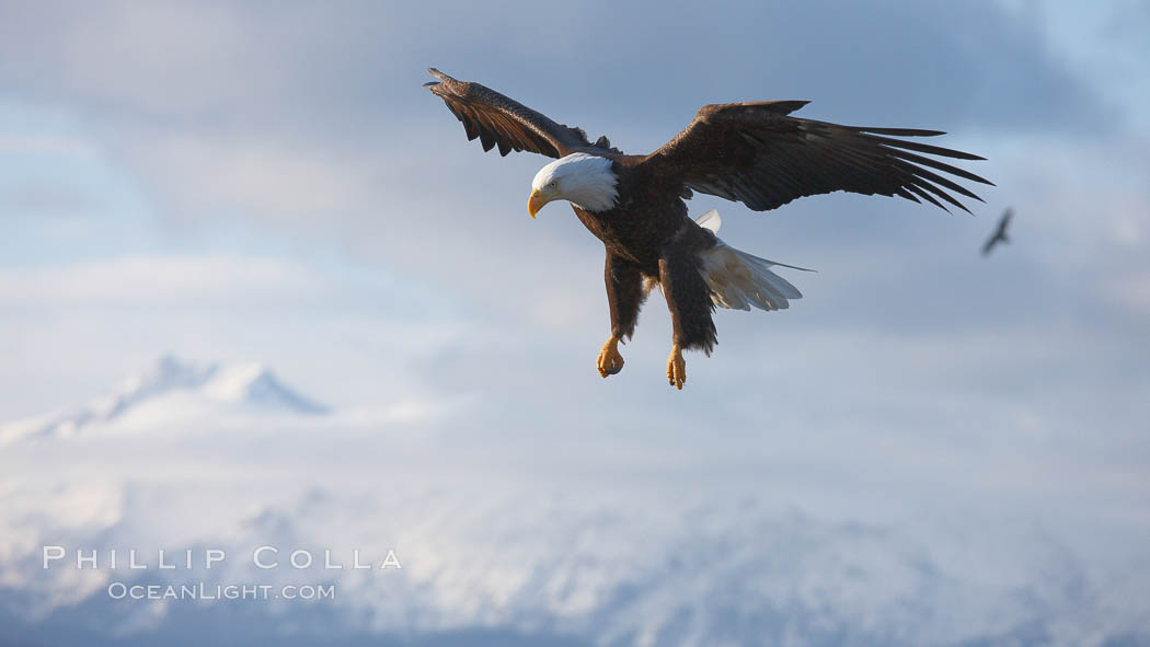 Bald eagle in flight, sidelit, cloudy sky and Kenai Mountains in the background., Haliaeetus leucocephalus, Haliaeetus leucocephalus washingtoniensis,  Copyright Phillip Colla, image #22596, all rights reserved worldwide.