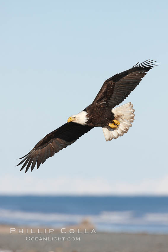 Image 22620, Bald eagle in flight, banking over Kachemak Bay and beach. Kachemak Bay, Homer, Alaska, USA, Haliaeetus leucocephalus, Haliaeetus leucocephalus washingtoniensis, Phillip Colla, all rights reserved worldwide. Keywords: accipitridae, alaska, animal, animalia, aves, bald eagle, beach, bird, chordata, coast, creature, eagle, falconiformes, flight, fly, flying, haliaeetus, haliaeetus leucocephalus, haliaeetus leucocephalus washingtoniensis, haliaeetus leucocephalus washintoniensis, homer, kachemak bay, leucocephalus, nature, northern bald eagle, ocean, pacific, sea, seashore, shore, usa, vertebrata, vertebrate, wildlife, wings.