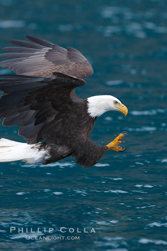 Bald eagle in flight, spreads its wings and raises its talons as it prepares to grasp a fish out of the water. Kenai Peninsula, Alaska, USA, Haliaeetus leucocephalus, Haliaeetus leucocephalus washingtoniensis, natural history stock photograph, photo id 22820