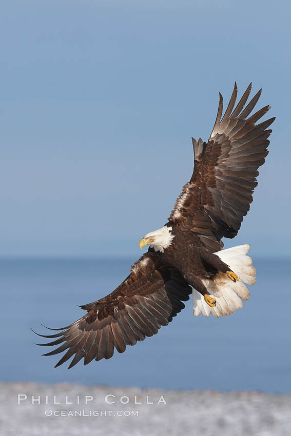 Bald eagle in flight, banking over beach with Kachemak Bay in background., Haliaeetus leucocephalus, Haliaeetus leucocephalus washingtoniensis,  Copyright Phillip Colla, image #22613, all rights reserved worldwide.