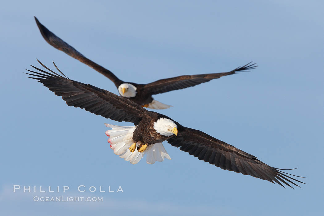 Two bald eagles in flight, wings spread, soaring, aloft., Haliaeetus leucocephalus, Haliaeetus leucocephalus washingtoniensis,  Copyright Phillip Colla, image #22590, all rights reserved worldwide.