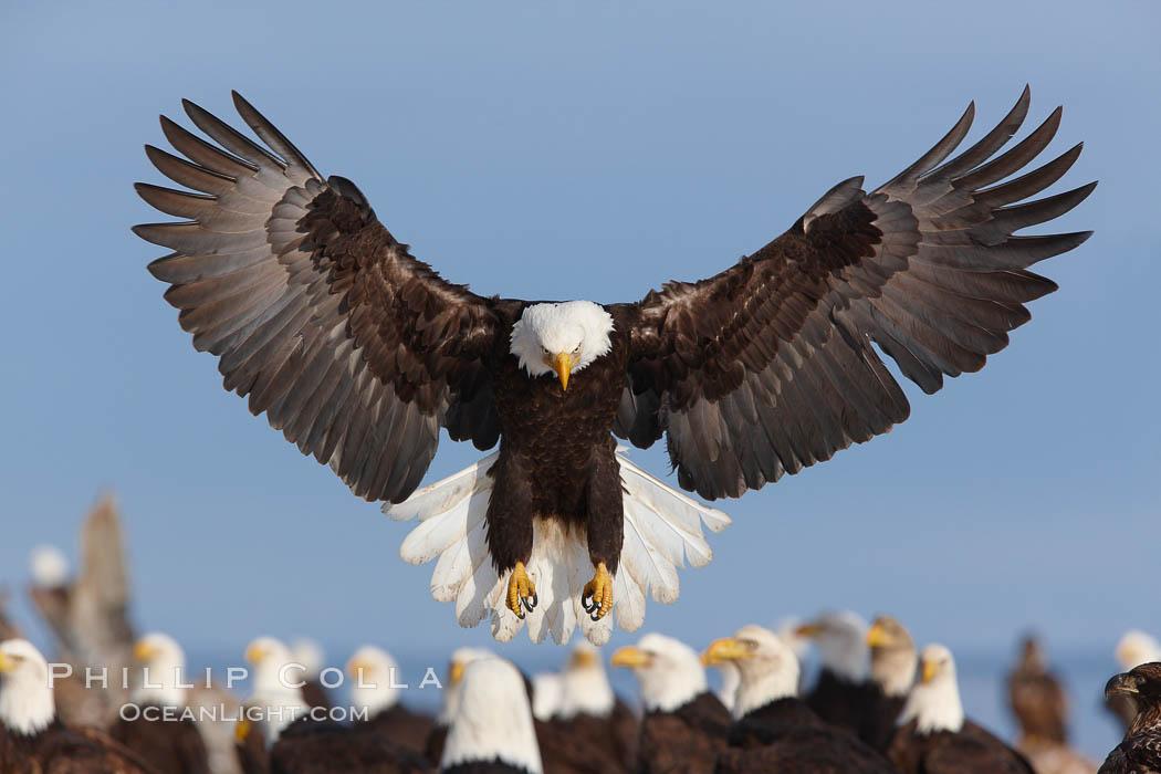Bald eagle lands amid a group  Eagle Wings