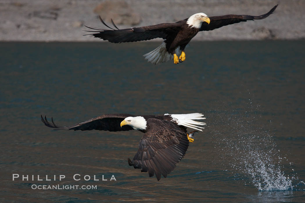 Bald eagle makes a splash while in flight as it takes a fish out of the water. Kenai Peninsula, Alaska, USA, Haliaeetus leucocephalus, Haliaeetus leucocephalus washingtoniensis, natural history stock photograph, photo id 22610