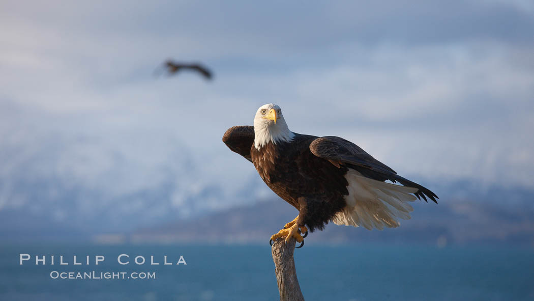 Bald eagle, sidelit, wings partially raised as its balances on wooden perch, Kachemak Bay, clouds and Kenai Mountains in background. Kachemak Bay, Homer, Alaska, USA, Haliaeetus leucocephalus, Haliaeetus leucocephalus washingtoniensis, natural history stock photograph, photo id 22622