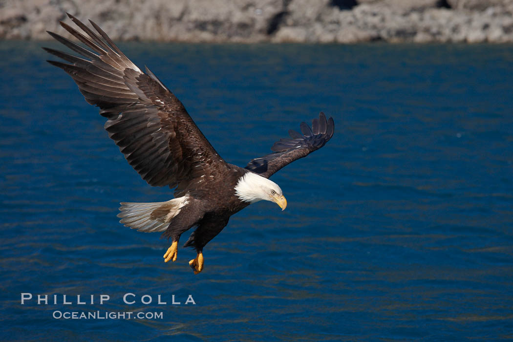 Bald eagle, flying low over the water. Kenai Peninsula, Alaska, USA, Haliaeetus leucocephalus, Haliaeetus leucocephalus washingtoniensis, natural history stock photograph, photo id 22854