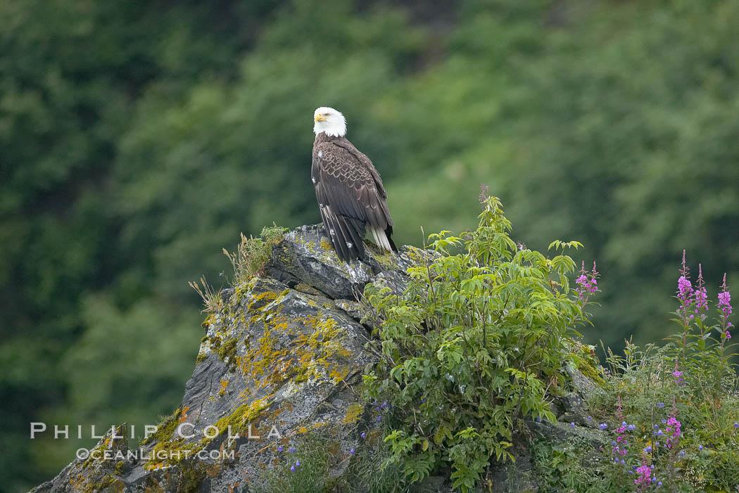 Bald eagle, Haliaeetus leucocephalus, Kenai Fjords National Park, Alaska