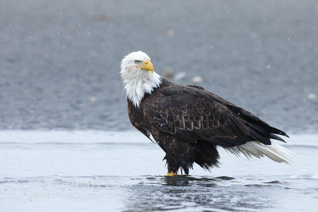 Bald eagle forages in tide waters on sand beach, snow falling, Haliaeetus leucocephalus, Haliaeetus leucocephalus washingtoniensis, Kachemak Bay, Homer, Alaska
