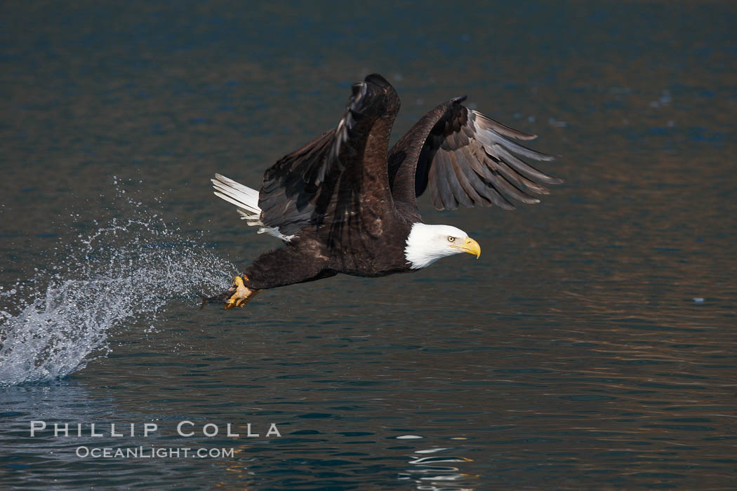 Bald eagle makes a splash while in flight as it takes a fish out of the water. Kenai Peninsula, Alaska, USA, Haliaeetus leucocephalus, Haliaeetus leucocephalus washingtoniensis, natural history stock photograph, photo id 22701