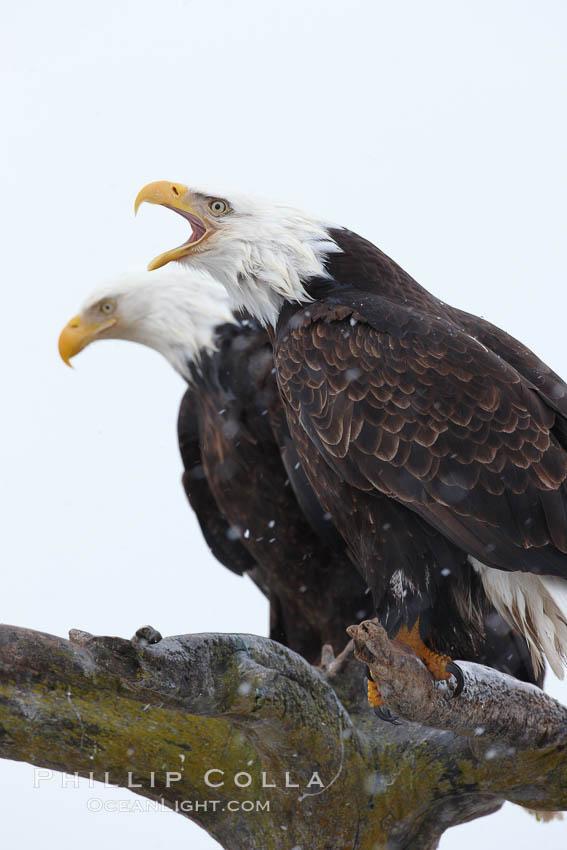 Bald eagle vocalizing, calling, with open beak while on wooden perch. Kachemak Bay, Homer, Alaska, USA, Haliaeetus leucocephalus, Haliaeetus leucocephalus washingtoniensis, natural history stock photograph, photo id 22654