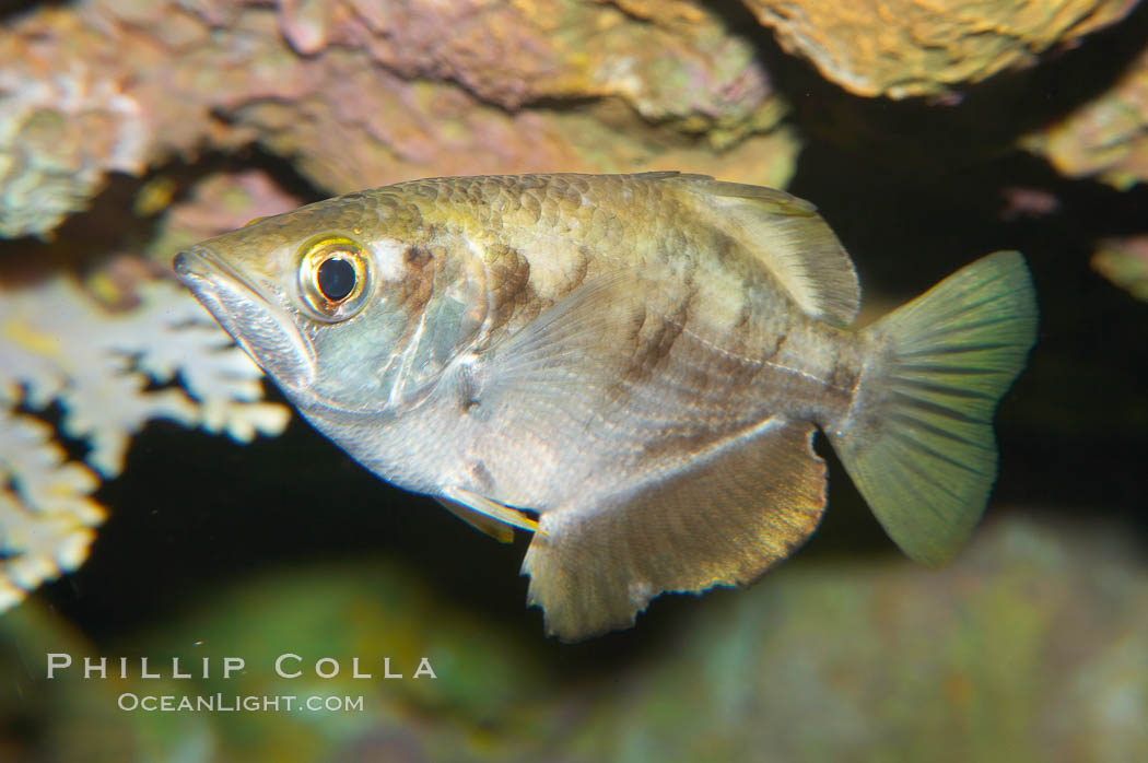 Banded archerfish. The banded archerfish is known for its ability to ...