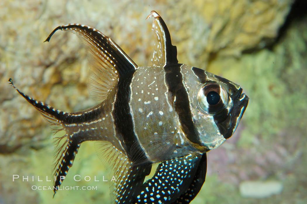 banggai cardinalfish - photo #28