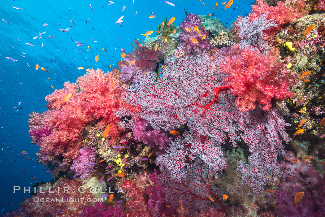 Beautiful tropical reef in Fiji. The reef is covered with dendronephthya soft corals and sea fan gorgonians, with schooling Anthias fishes swimming against a strong current. Namena Marine Reserve, Namena Island, Dendronephthya, Pseudanthias, Gorgonacea, natural history stock photograph, photo id 31401