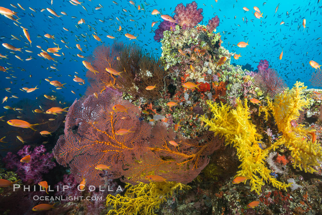 Beautiful tropical reef in Fiji. The reef is covered with dendronephthya soft corals and sea fan gorgonians, with schooling Anthias fishes swimming against a strong current., Dendronephthya, Pseudanthias, Gorgonacea, natural history stock photograph, photo id 31613