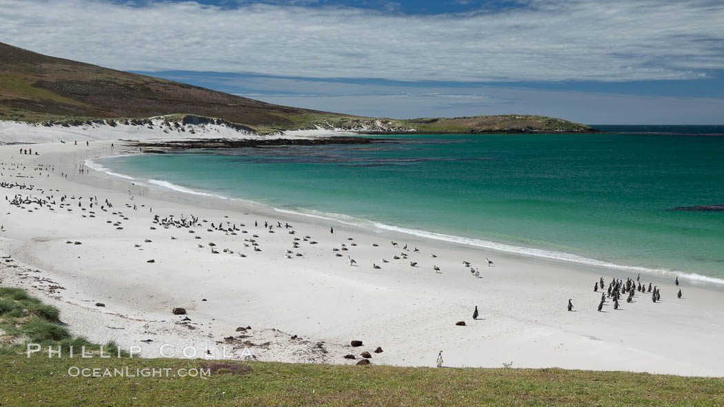 Beautiful white sand beach, on the southern tip of Carcass Island, with gentoo and Magellanic penguins coming and going to sea. Falkland Islands, United Kingdom, natural history stock photograph, photo id 24010