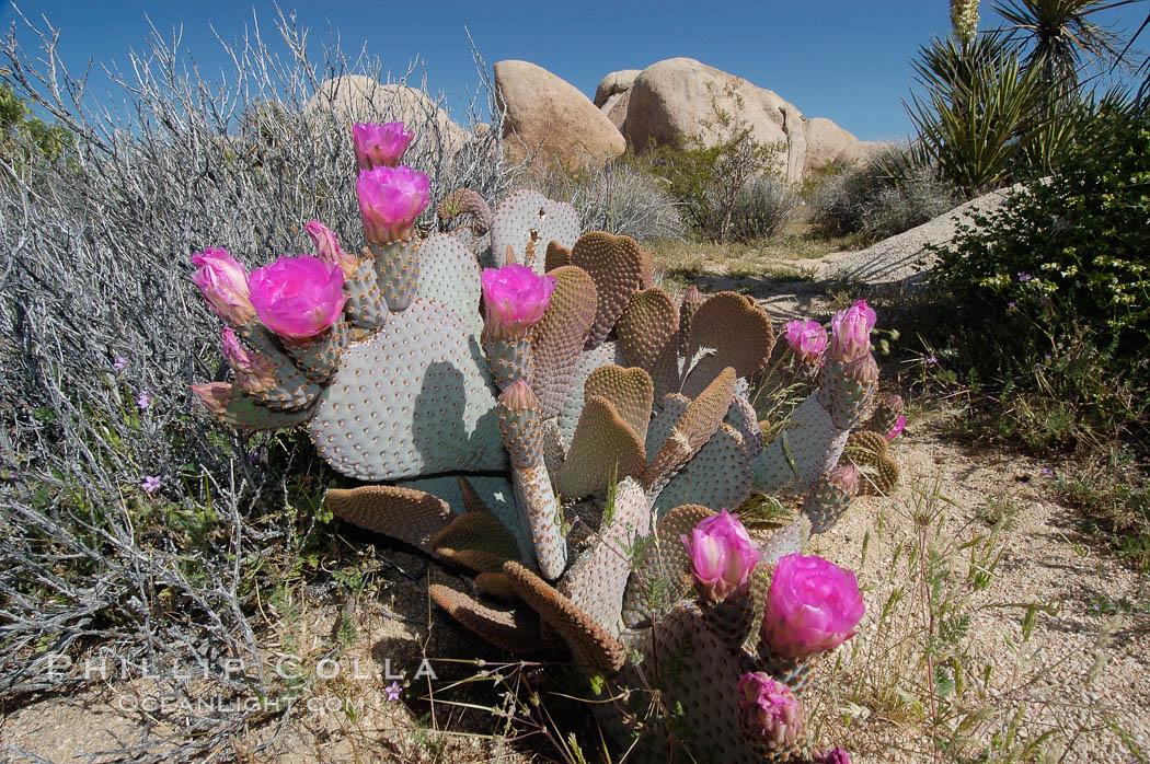 Beavertail cactus in springtime bloom. Joshua Tree National Park, California, USA, Opuntia basilaris, natural history stock photograph, photo id 09094