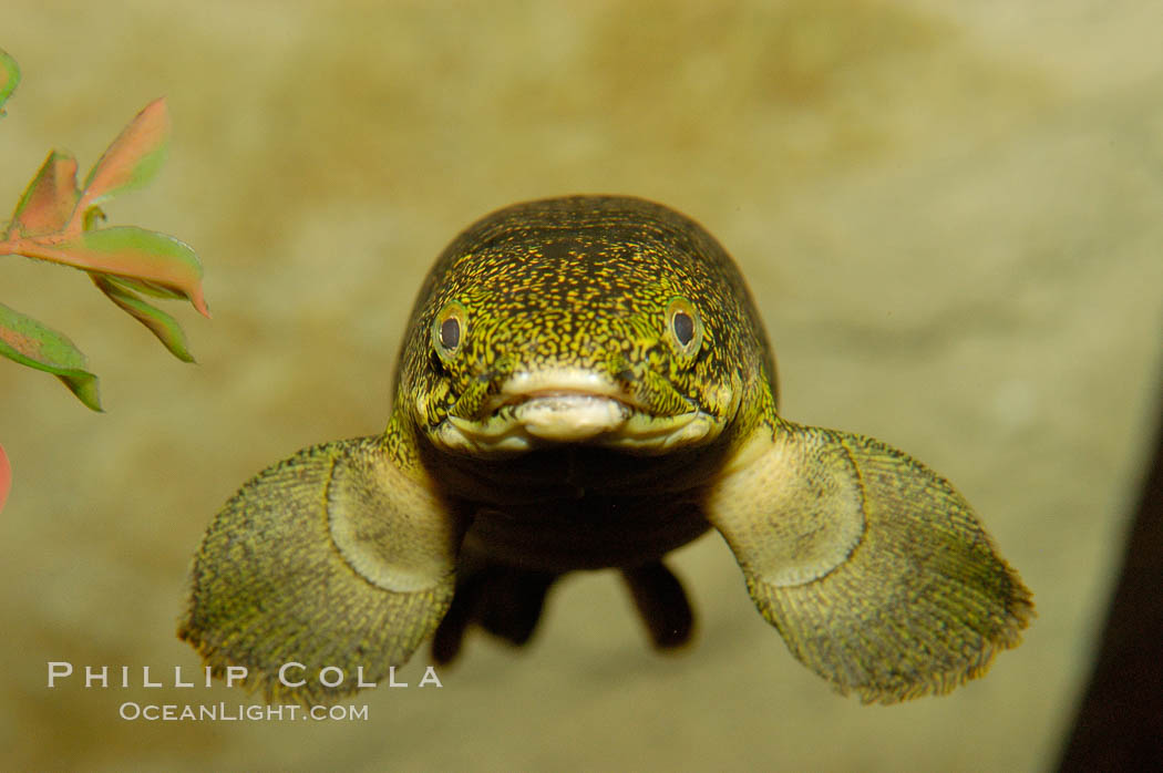 Bichir., Polypterus, natural history stock photograph, photo id 09358