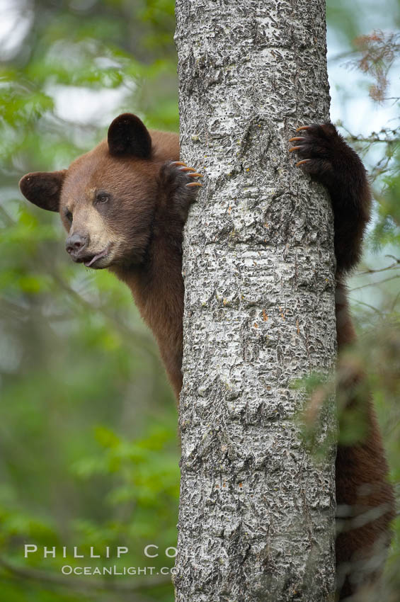 Black bear in a tree.  Black bears are expert tree climbers and will ascend trees if they sense danger or the approach of larger bears, to seek a place to rest, or to get a view of their surroundings., Ursus americanus,  Copyright Phillip Colla, image #18792, all rights reserved worldwide.