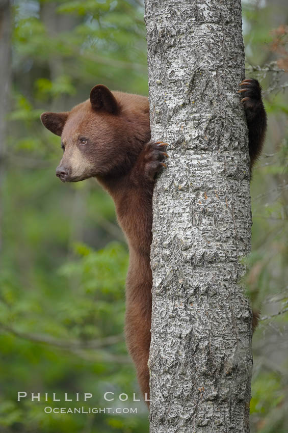 Black bear in a tree.  Black bears are expert tree climbers and will ascend trees if they sense danger or the approach of larger bears, to seek a place to rest, or to get a view of their surroundings. Orr, Minnesota, USA, Ursus americanus, natural history stock photograph, photo id 18747