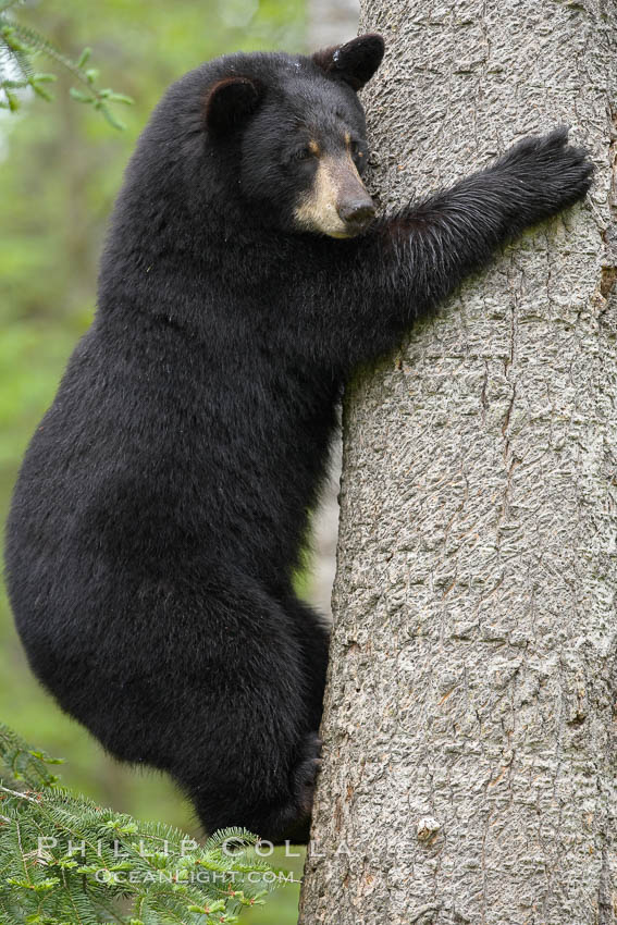 Image result for black bear climbing tree