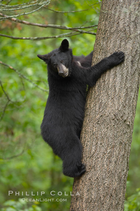 Black bear in a tree.  Black bears are expert tree climbers and will ascend trees if they sense danger or the approach of larger bears, to seek a place to rest, or to get a view of their surroundings., Ursus americanus,  Copyright Phillip Colla, image #18745, all rights reserved worldwide.
