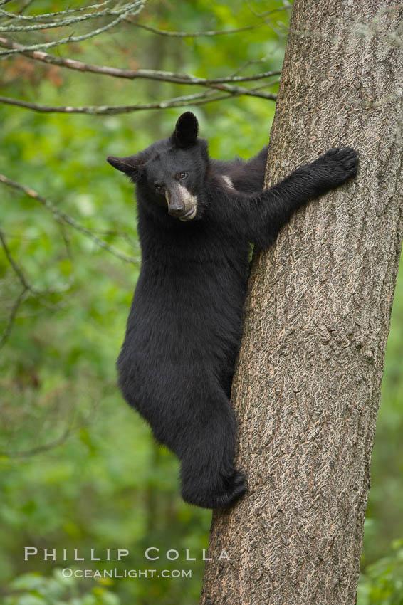 photo of a black bear climbing a tree natural history photography blog