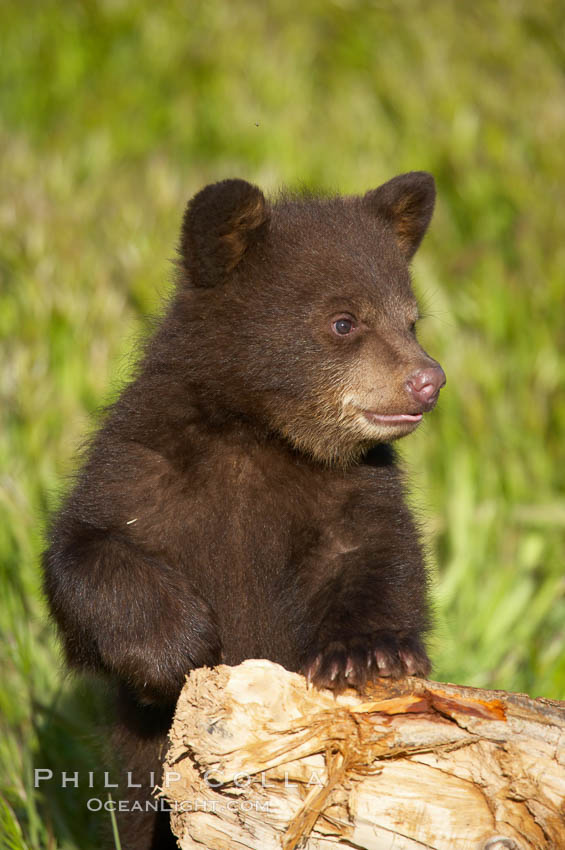 American black bear, male cub., Ursus americanus, natural history stock photograph, photo id 12238