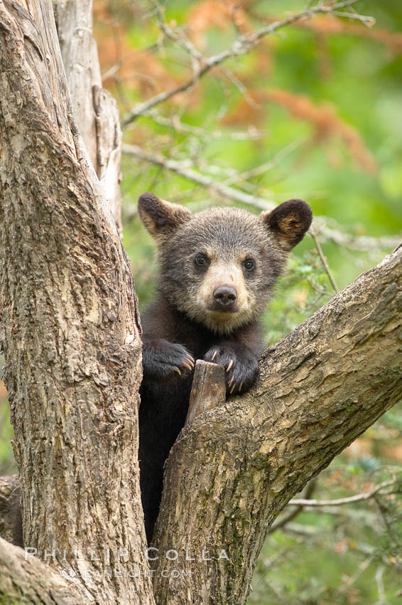 Black bear cub in a tree.  Mother bears will often send their cubs up into the safety of a tree if larger bears (who might seek to injure the cubs) are nearby.  Black bears have sharp claws and, in spite of their size, are expert tree climbers., Ursus americanus,  Copyright Phillip Colla, image #18746, all rights reserved worldwide.