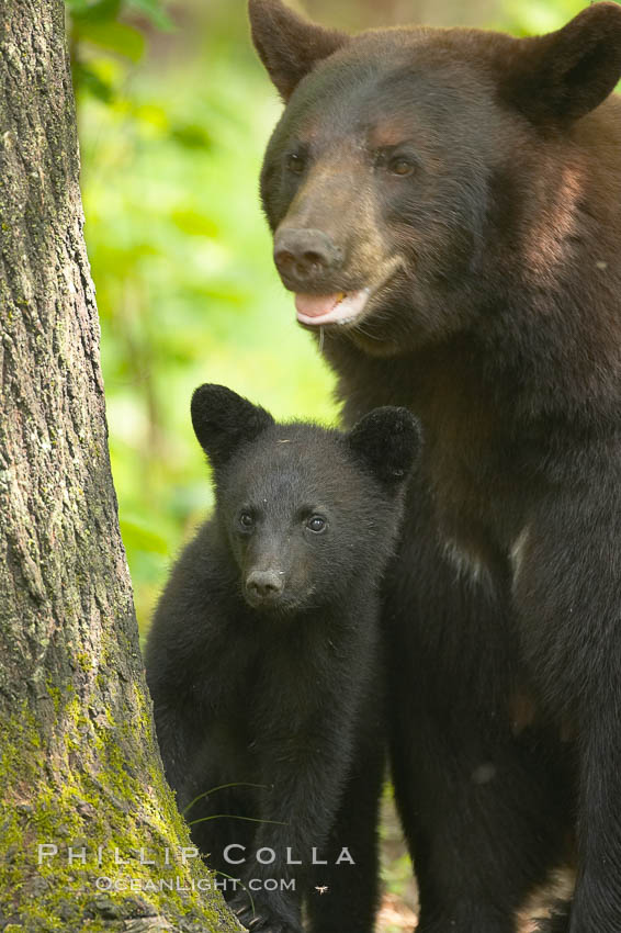 Image 18785, Black bear cub.  Black bear cubs are typically born in January or February, weighing less than one pound at birth.  Cubs are weaned between July and September and remain with their mother until the next winter. Orr, Minnesota, USA, Ursus americanus