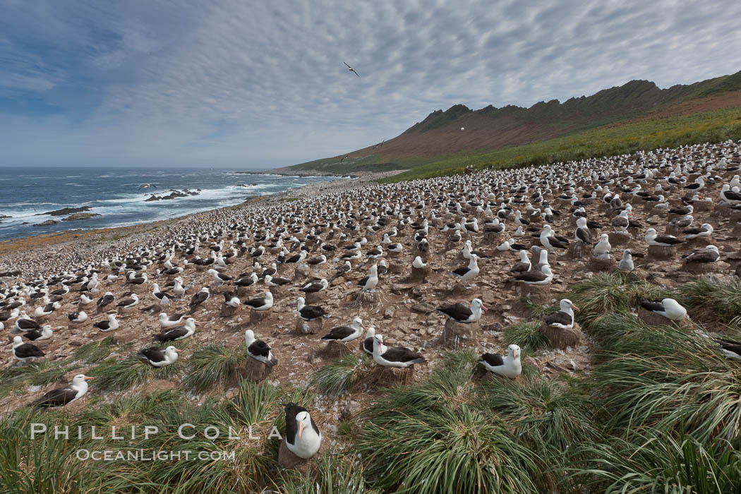Black-browed albatross colony on Steeple Jason Island in the Falklands.  This is the largest breeding colony of black-browed albatrosses in the world, numbering in the hundreds of thousands of breeding pairs.  The albatrosses lay eggs in September and October, and tend a single chick that will fledge in about 120 days. Steeple Jason Island, Falkland Islands, United Kingdom, Thalassarche melanophrys, natural history stock photograph, photo id 24078