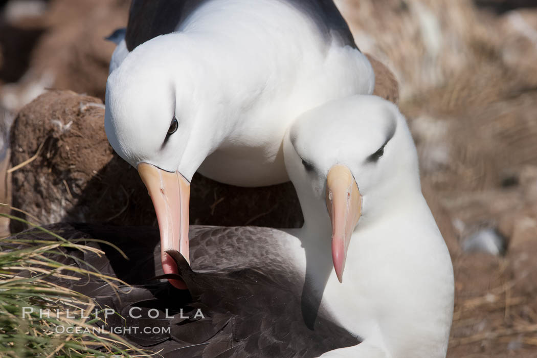 Black-browed albatross, courtship and mutual preening behavior between two mated adults on the nest, Steeple Jason Island breeding colony.  Black-browed albatrosses begin breeding at about 10 years, and lay a single egg each season. Steeple Jason Island, Falkland Islands, United Kingdom, Thalassarche melanophrys, natural history stock photograph, photo id 24250