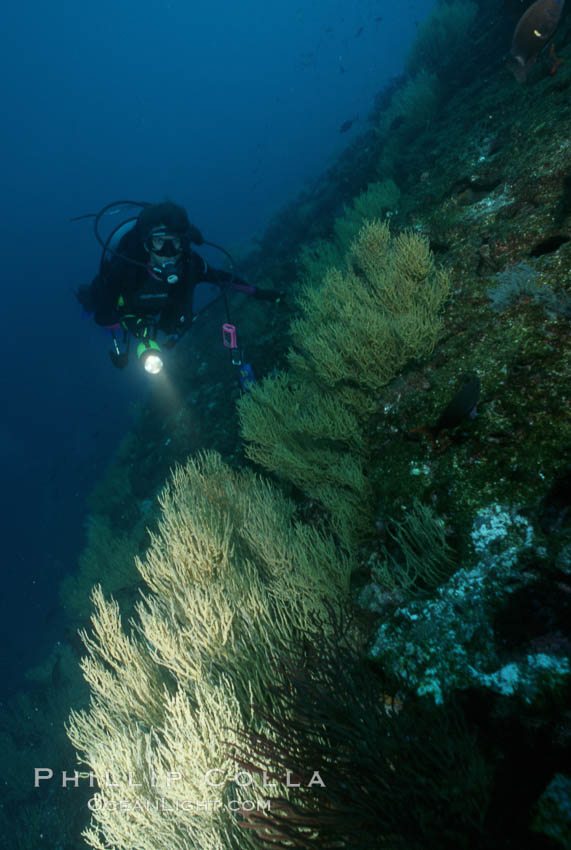 Black coral and diver. Isla Champion, Galapagos Islands, Ecuador, Antipathidae, natural history stock photograph, photo id 05707