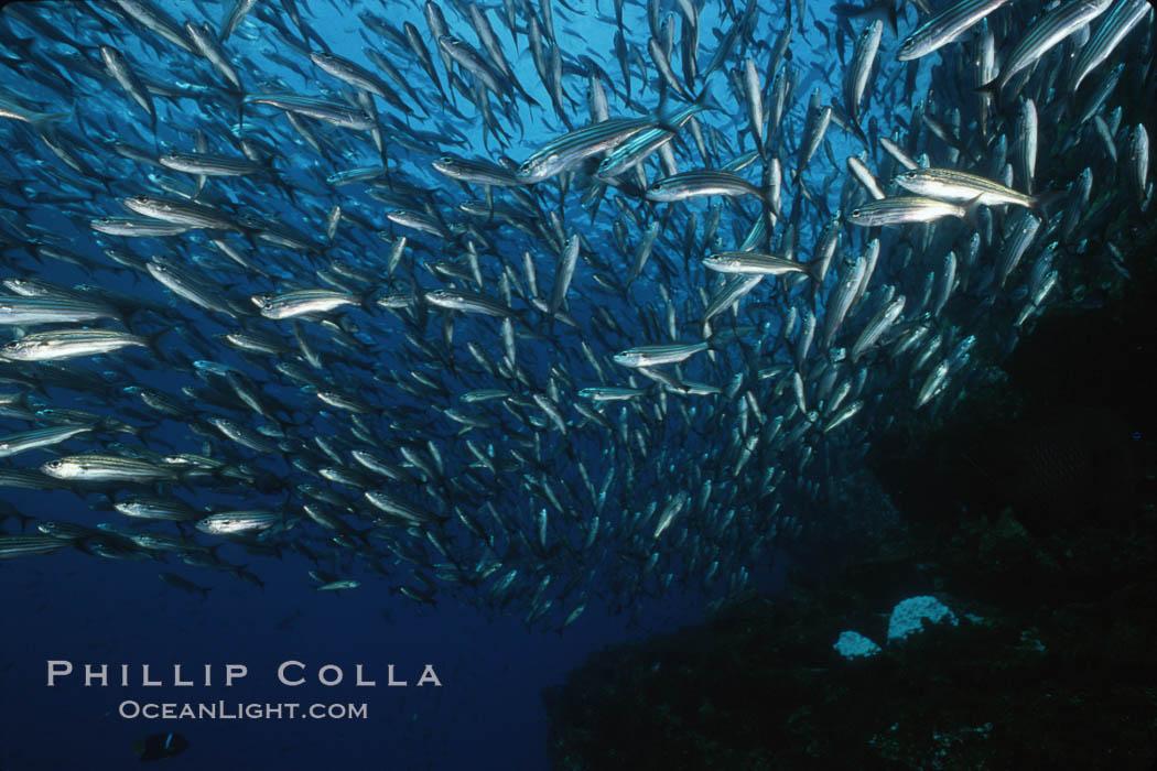 Black-striped salema. Isla Champion, Galapagos Islands, Ecuador, Xenocys jessiae, natural history stock photograph, photo id 02740
