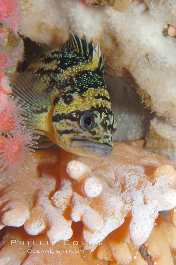 Image 09013, Black-and-yellow rockfish., Sebastes chrysomelas, Phillip Colla, all rights reserved worldwide. Keywords: animal, black-and-yellow rockfish, california baja california, fish, indo-pacific, marine fish, rockfish scorpionfish, sebastes chrysomelas, underwater.